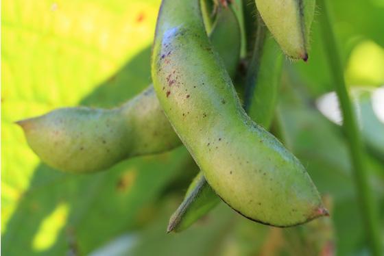黒枝豆(本黒)
