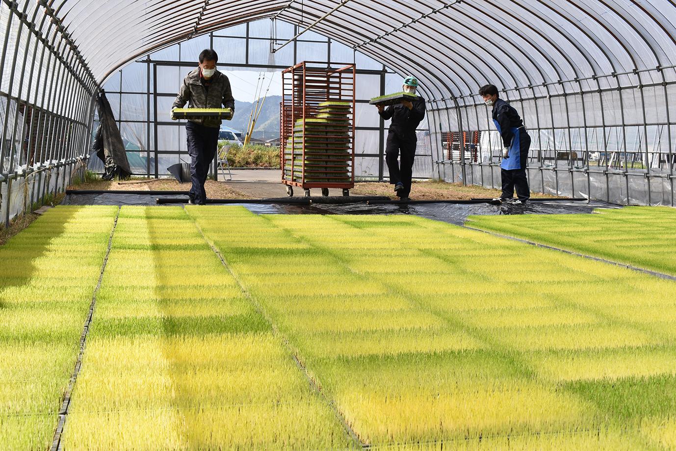 水稲苗が順調に生育 良い苗を届けるために