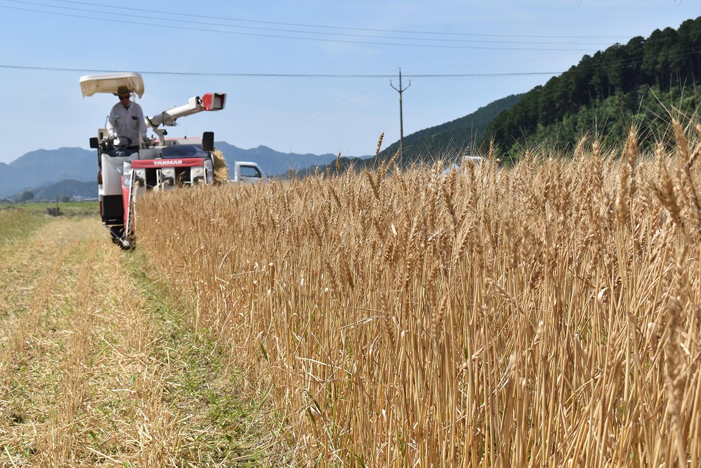 小麦の収穫・荷受け 順調に収穫作業